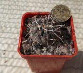 Gymnocalycium spegazzinii v.major