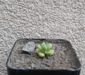 Echeveria sedoides