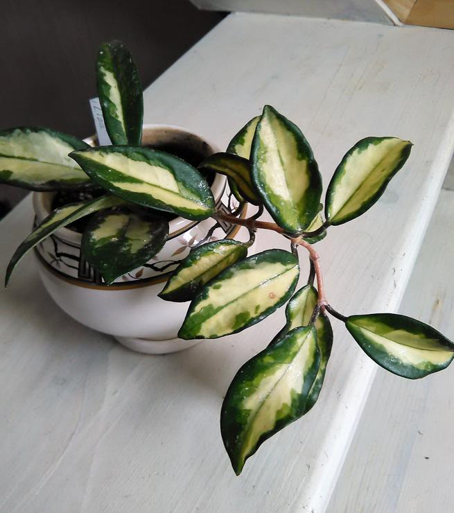 Hoya carnosa f. variegatа