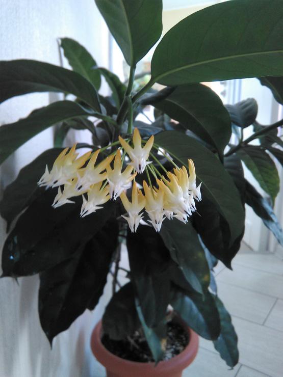 Hoya multiflora - это мощный куст и цветки неповторимой формы
