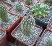 ECHINOCEREUS chloranthus v. Jarila