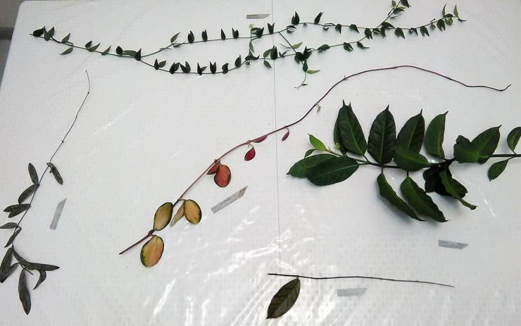 Разнообразие форм и расцветок рода Хойя