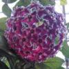 Цветение Hoya pubicalyx