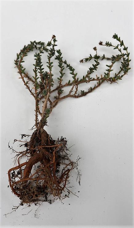 Trichodiadema bulbosum формирует мощные подземные корни