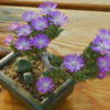 Trichodiadema marlothii в цветении