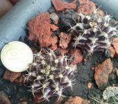 Gymnocalycium cv.Violet