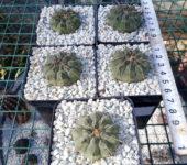 Одноколючковый Gymnocalycium vatteri