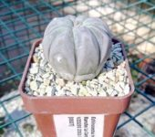 Echinocactus horizonthalonius, Rancho La Campana, VZD293
