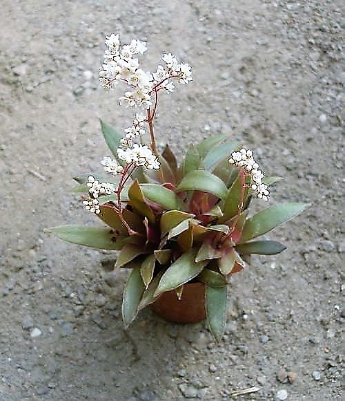Crassula rosularis