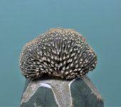 Geohintonia mexicana f.cristata