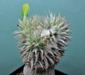 Pachypodium brevicaule-1