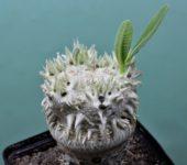 Pachypodium brevicaule-2