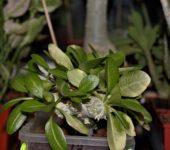 Pachypodium brevicaule variegata