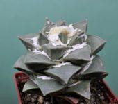 Ariocarpus-retusus-BKM-939-f.-minimus-subform-caespitosa