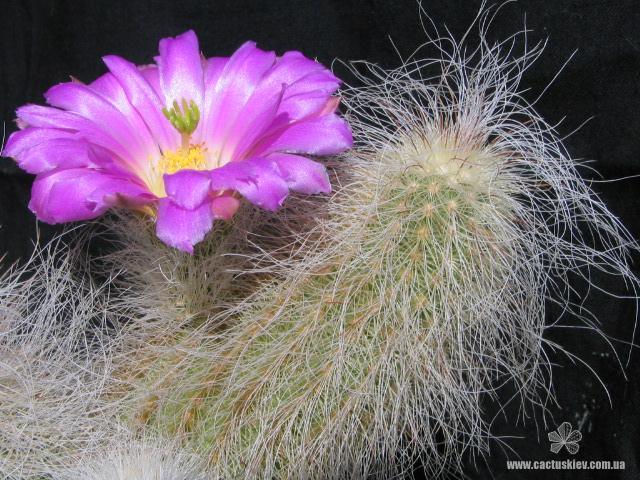 Красочная палитра рода Эхиноцереус (Echinocereus). Часть 2