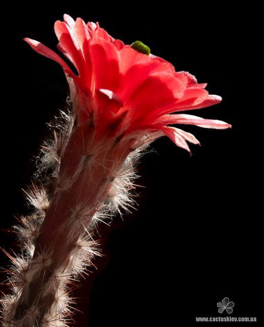 Echinocereus huitcholensis