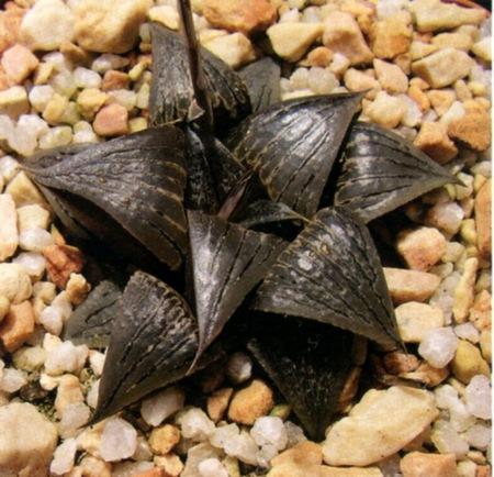 Новые имена видов из рода Хоуэртия (Нaworthia). Часть 2