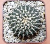 Ariocarpus kotchoubeyanus albiflorus