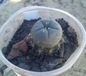 Lophophora williamsii VZD 020