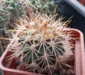 Turbinicarpus (Gymnocactus) horripilus