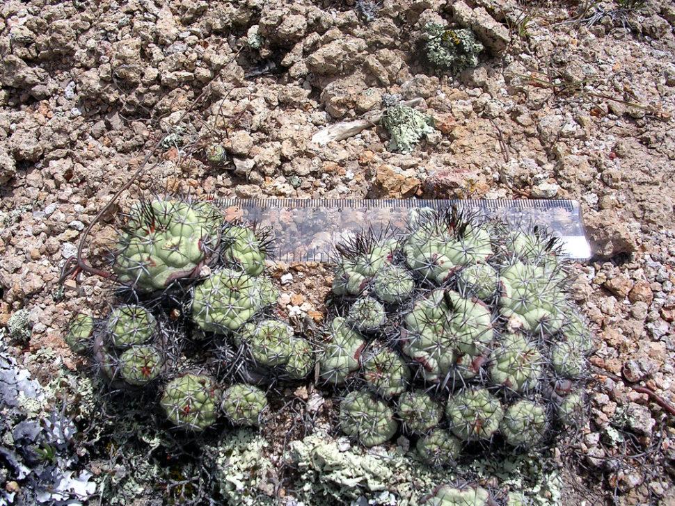 Ortegocactus macdougallii в природе