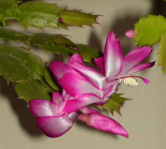 Schlumbergera hybr.