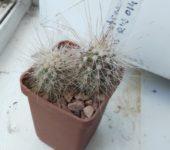 Echinocereus stramineus RUS014