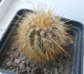 Echinocereus viridiflorus subsp. chloranthus