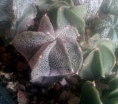 astrophytum myriostygma x ornatum