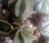 Astrophytum niveum nudum Busek Gabino Vasques cuatrocinegus 42m