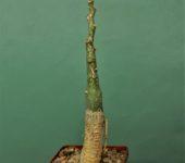 Adenia-ellenbeckii