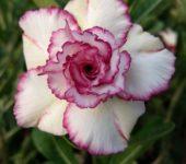 Adenium 'Carnation'