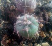 gymnocalycium catamarcense x spegazzinii