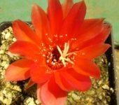 Echinopsis 'Rosso-arancio'