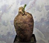 Pachypodium-succulentum