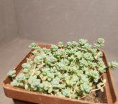 Sedum dasyphyllum v. macrophyllum