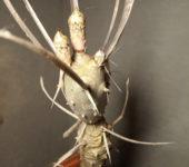 Tephrocactus articulatus (с бутонами)