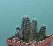 Mediolobivia-rosalbiflora-FR-1115