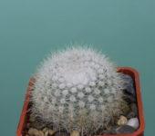 Notocactus-scopa-v.-albispinus