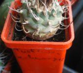 turbinicarpus schwarzii