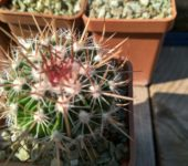 STENOCACTUS phyllocanthus CH 228