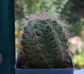 THELOCACTUS bicolor - SB 287 Saltillo