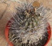 neoporteria nigrihorrida
