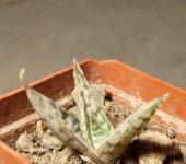 Aloe cv. Silver Blue