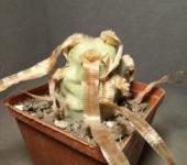 Tephrocactus articulatus (горщик 8см)