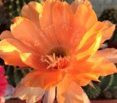Неукорененные детки Echinopsis 246_Joker- , d = 2 см