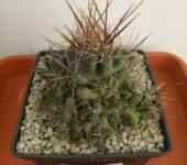Lepidocoryphantha runyonii, DJF1035.45