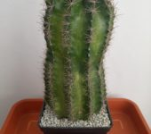 Echinopsis 'Panarotto 102'