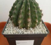 Echinopsis 'Punte Persa'