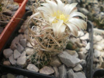Pediocactus peeblesianus var. fickeisenii (Navajoa peeblesiana ssp.fickeisenii SB 903)